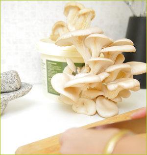 kweekset oesterzwammen op aanrecht